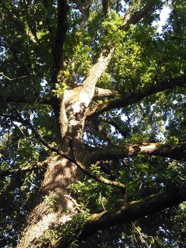 Gros chêne