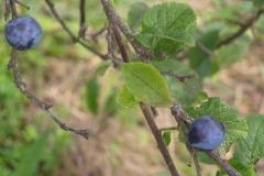 prunesS